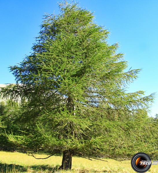 Meleze arbre