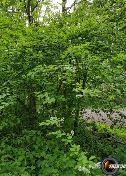 Merisier a grappes arbres