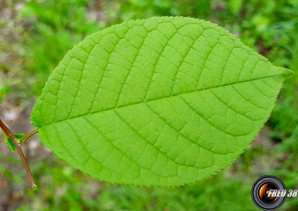 Merisier a grappes feuilles