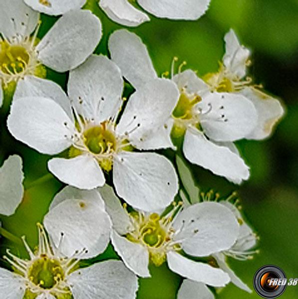 Merisier a grappes fleurs