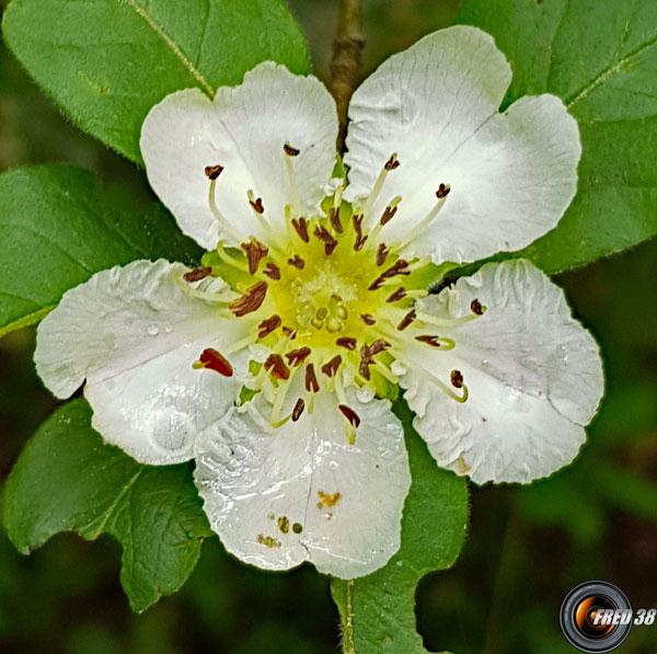 Neflier fleur