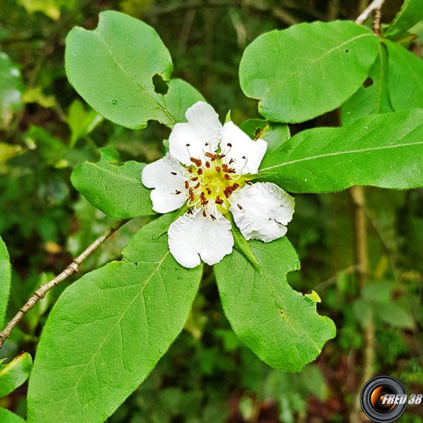 Neflier fleur2