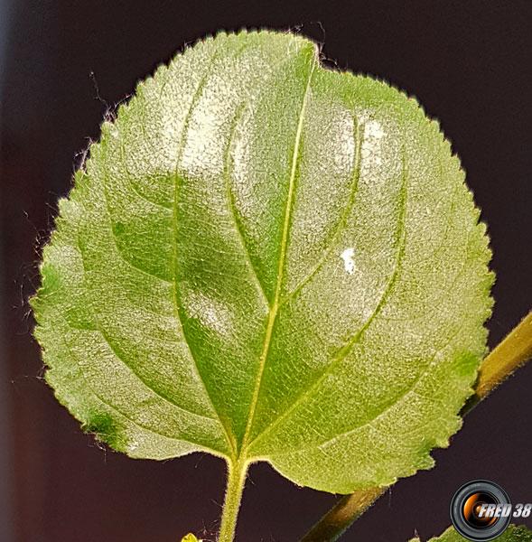 Nerprun purgatif feuilles