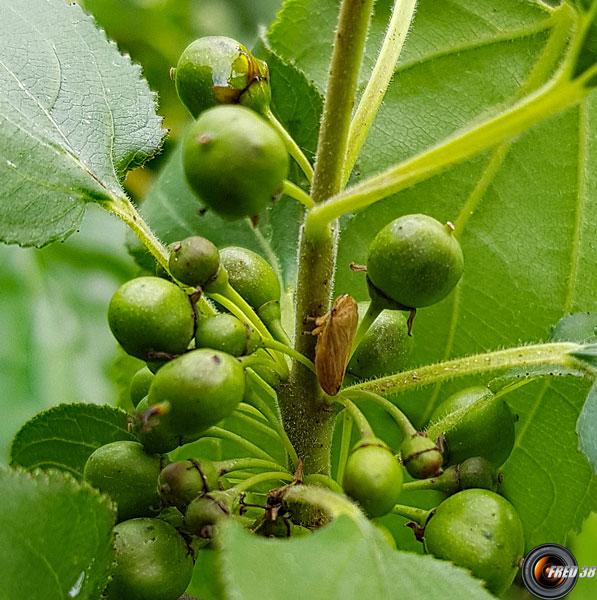Nerprun purgatif fruits