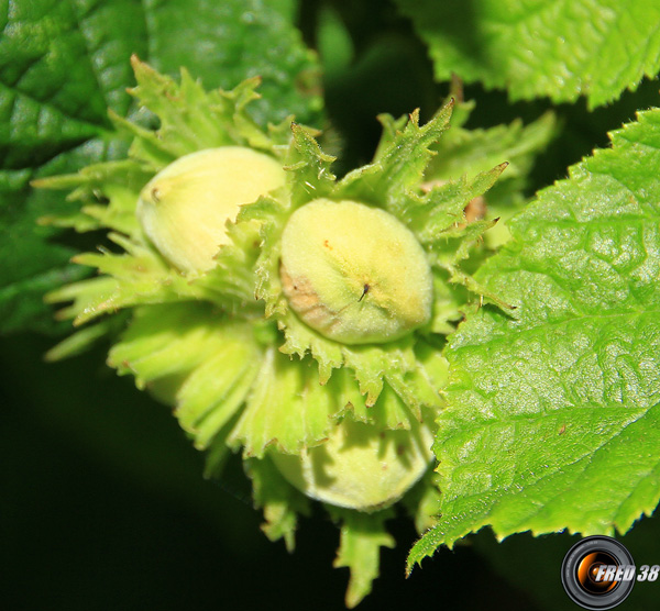 Noisetier fruit