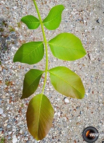Noyer feuilles 1