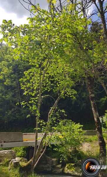Orme arbre