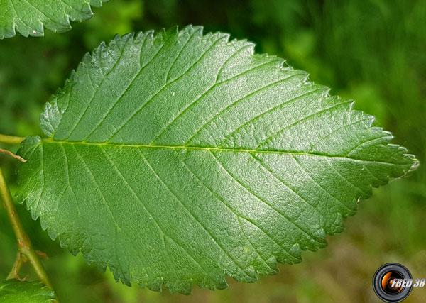 Orme de thomas feuilles