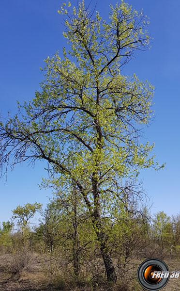 Peuplier arbre