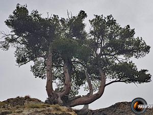 Pin cembro arbre