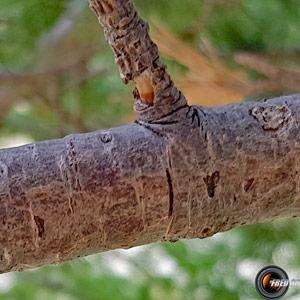 Pin cembro branche