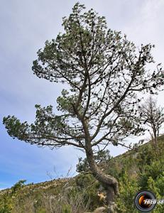 Pin d alep arbres