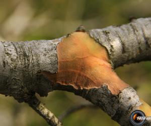 Pin d alep branche