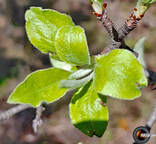 Poirier feuilles