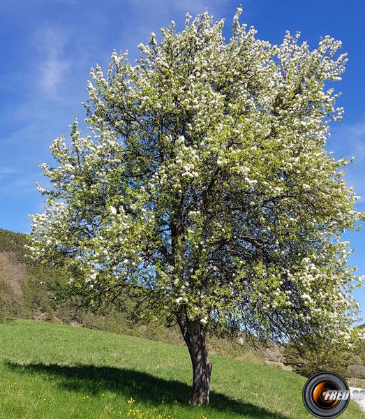Pommier arbre
