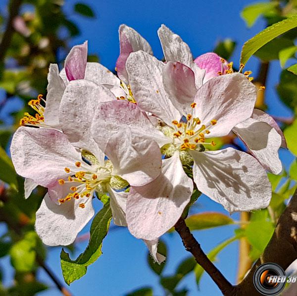 Pommier fleurs2
