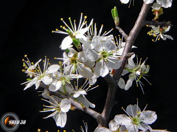 Prunelier fleurs