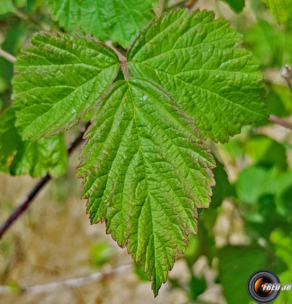 Ronce bleuatre feuilles