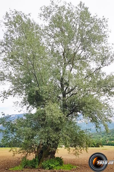 Saule blanc arbre