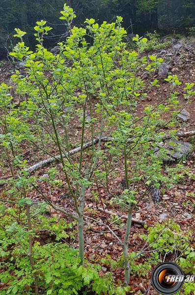 Saule marsault arbre