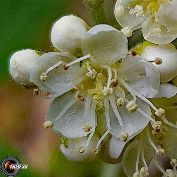 Sorbier des oiseleurs fleurs2