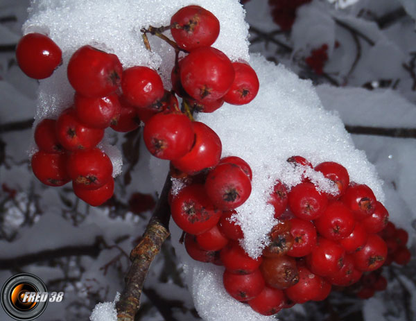 Sorbier des oiseleurs fruits