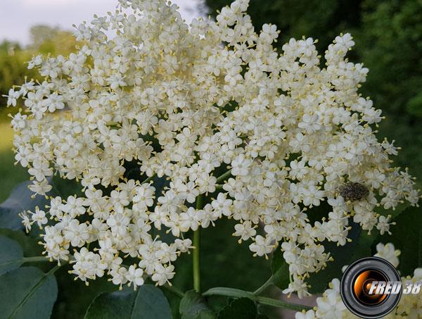 Sureau noir fleur