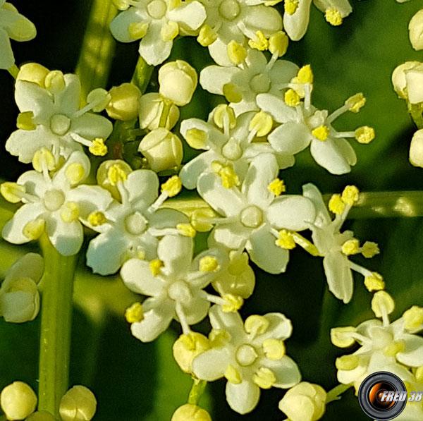 Sureau noir fleurs2