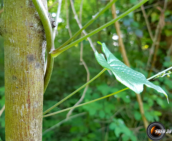 Tamier commun feuilles2