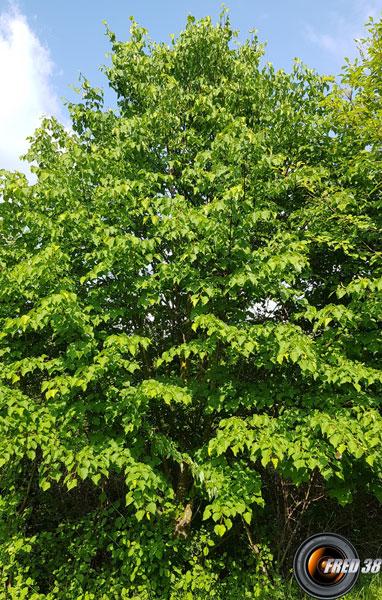 Tilleul arbre