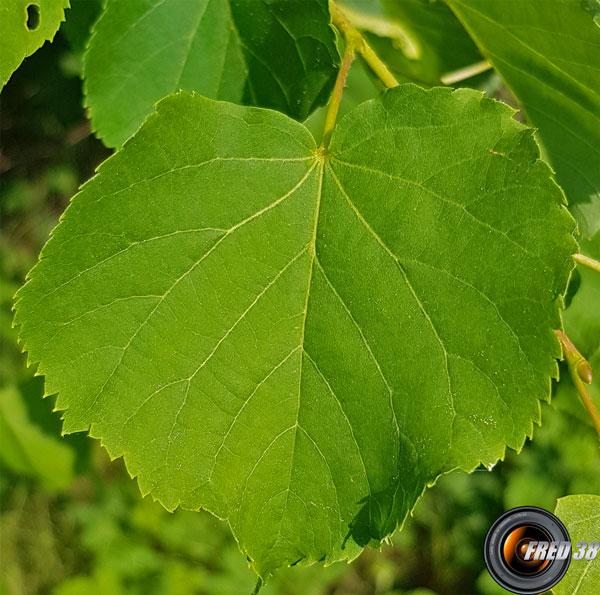 Tilleul feuilles