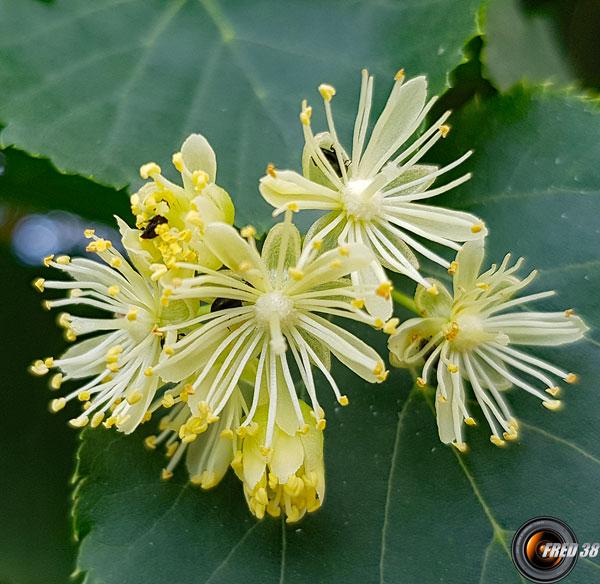 Tilleul fleurs2