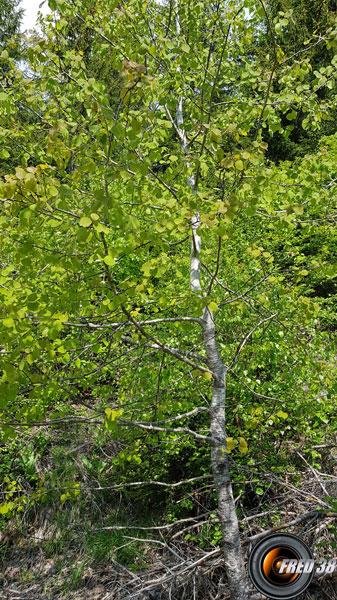 Tremble arbre