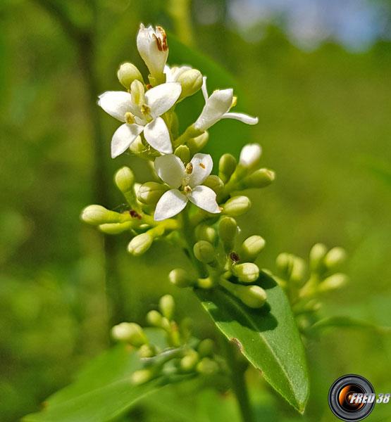Troene fleurs 1