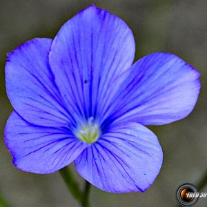 Vigentte fleur