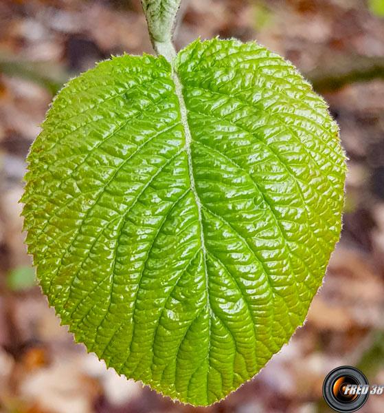 Viorne lantane feuilles
