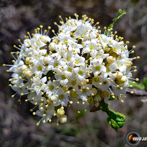 Viorne lantane fleurs2
