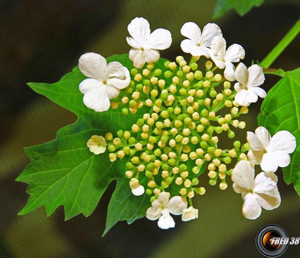 Viorne obier fleurs