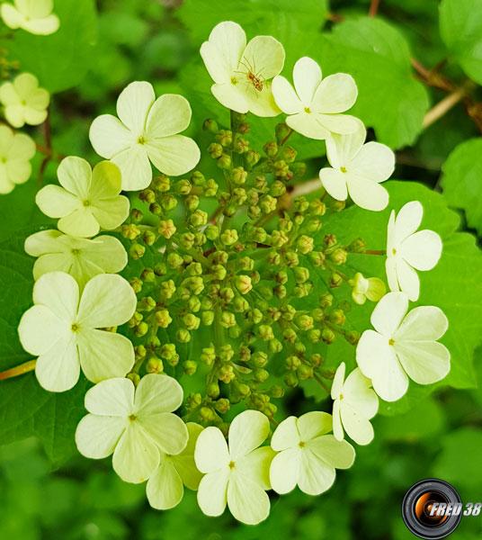Viorne obier fleurs2