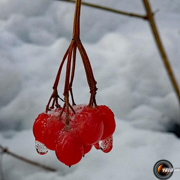 Viorne obier fruits