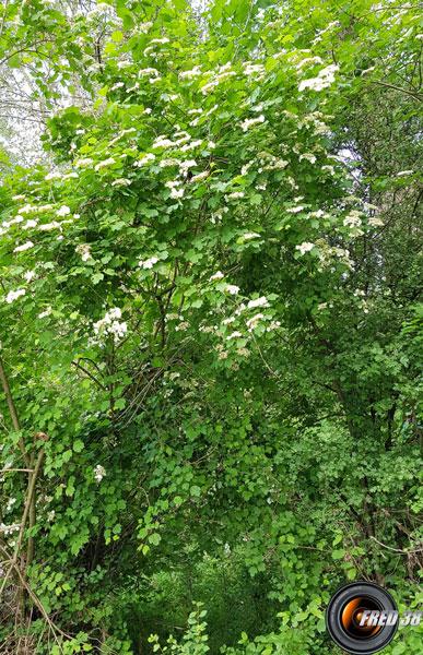 Viorne orbier arbre