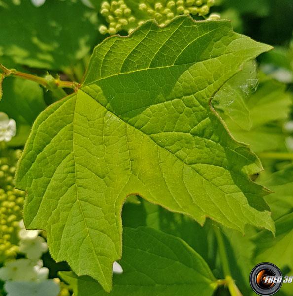 Viorne orbier feuilles
