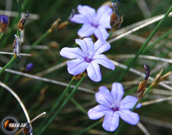 Aphyllante de Montpellier2_Haute-Provence