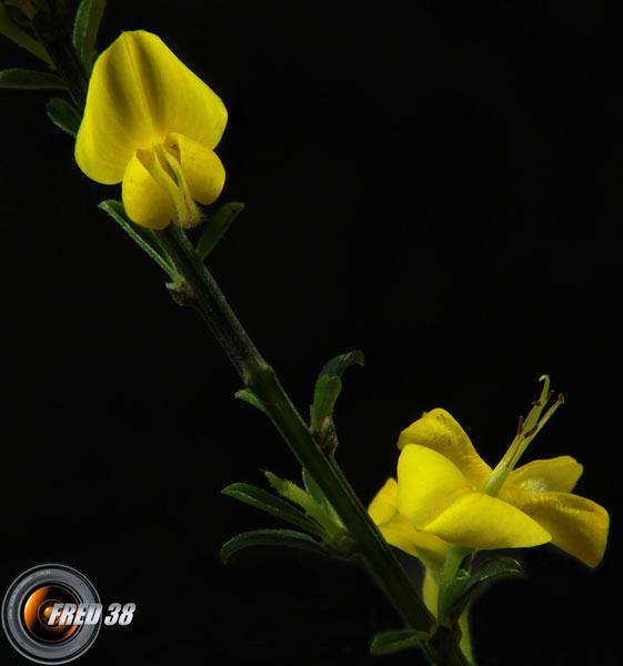 Calicotome épineux2_Dauphiné