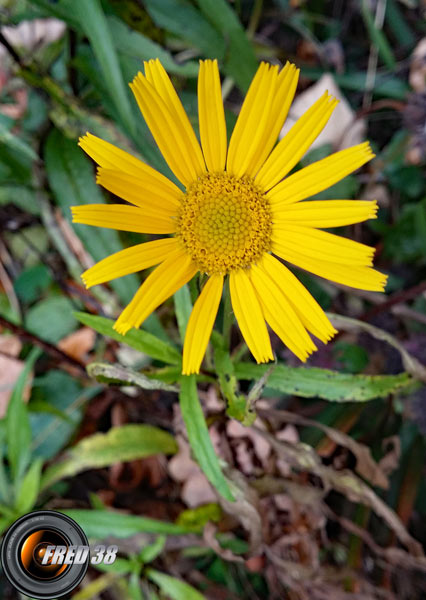 Doronic à grande fleur_Bauges