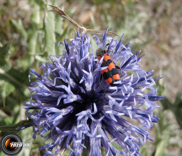 Echinops ritro_Bauges