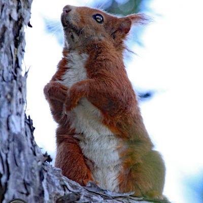 Ecureuil en montant à Glandasse