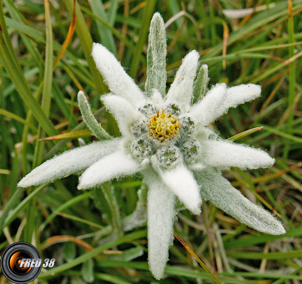 Edelweiss_Beaufortain