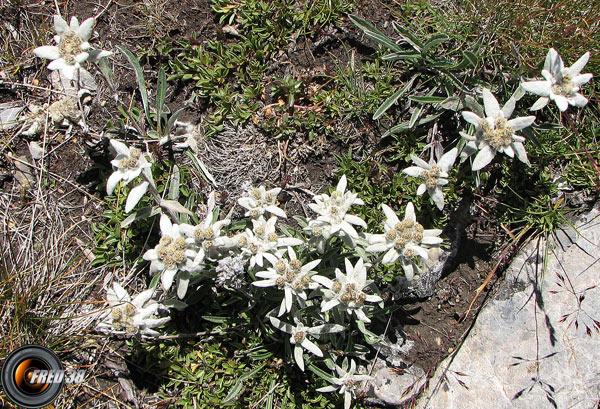 Edelweiss_Queyras