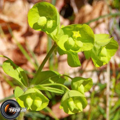 Euphorbe à feuilles d'amandier2_Chartreuse